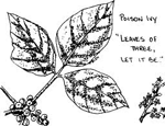 poison ivy_picture