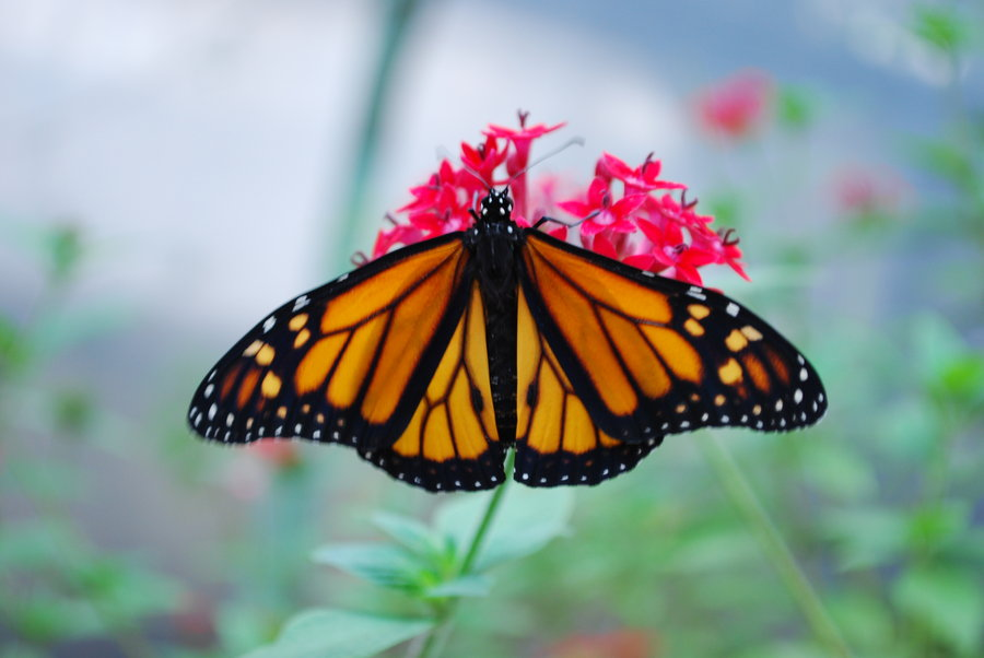 monarch butterfly stock 2 by chamberstock d319s2f